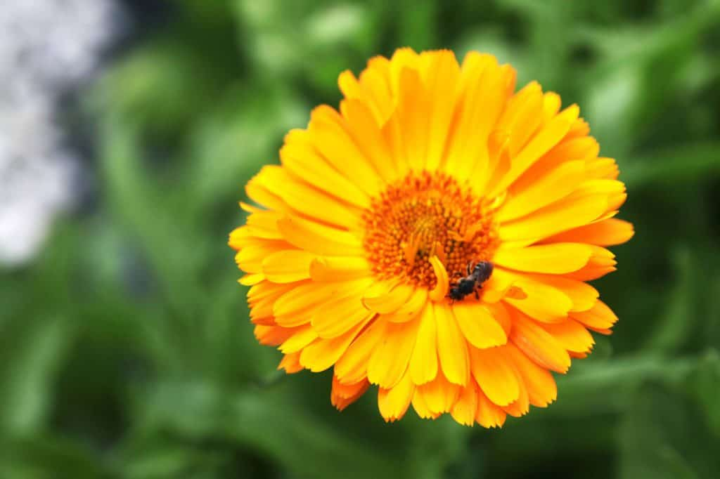 flowers to grow in your vegetable garden