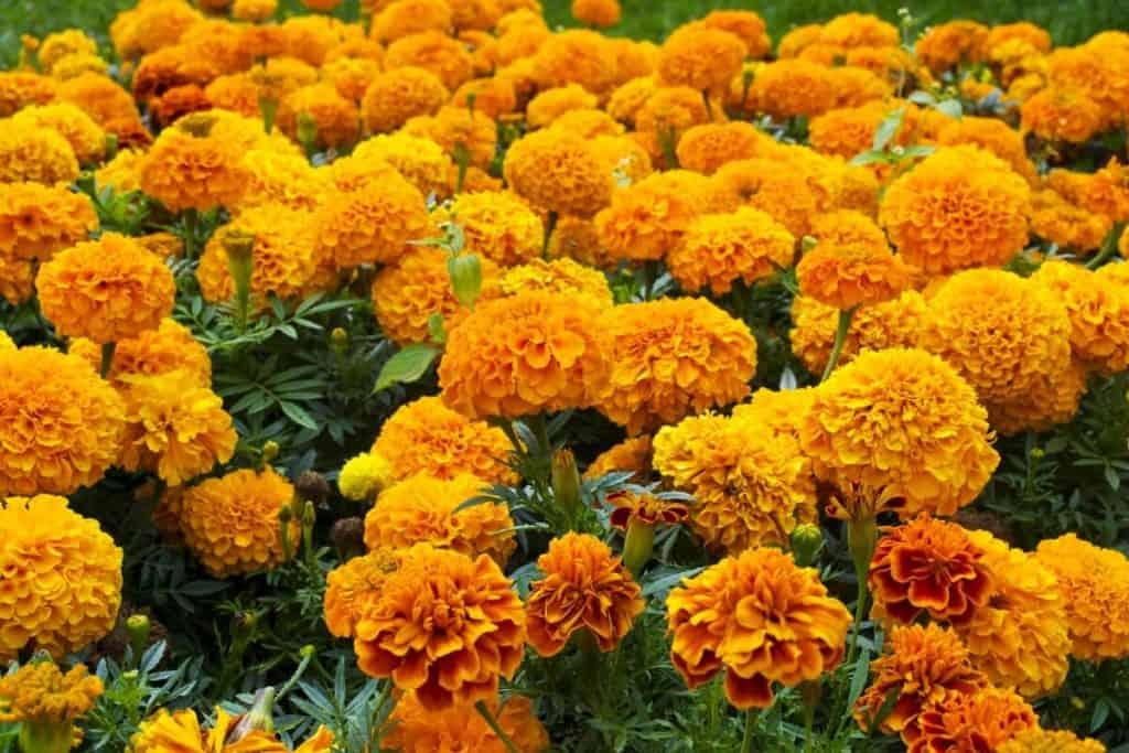 Blumen für den Gemüsegarten