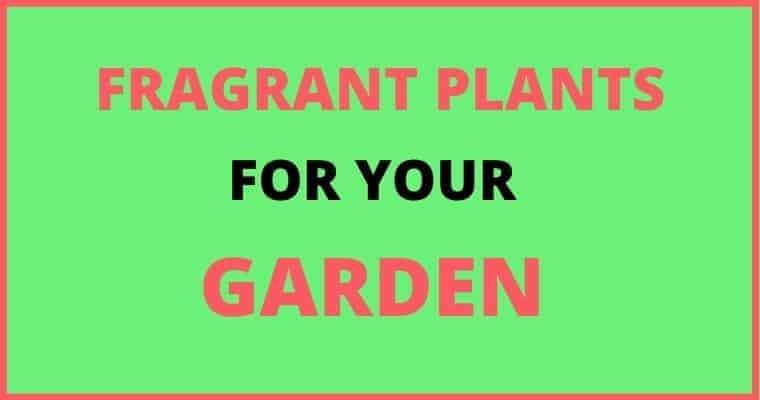 fragrant plants for garden